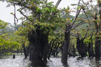 Dead trees with bromeliads in the nature reserve Cuyabeno, Amazonia, Oriente, Ecuador.