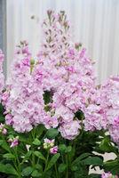 Matthiola incana flower, stock flowers, cut flowers in the nursery, full bloom