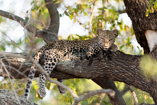 Leopard cub on tree in the wilderness