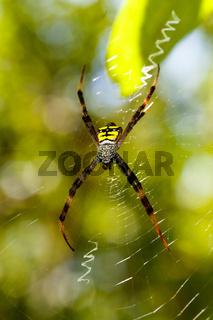 spider Argiope aemula, Indonesia wildlife