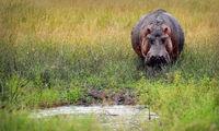 Hippo at Queen Elizabeth National Park, Uganda (Hippopotamus amphibius)