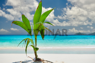 Palm tree growing from coconut on beautiful beach
