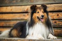 Sheltie dog lying on a park bench