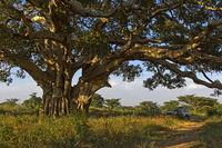 Spreading branches of a Sycamore Fig (Ficus sycomorus), Hazwien Plateau, Tigray, Ethiopia