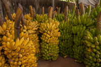 Fresh banana bunches after harvesting