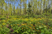 Glade with yellow flowers of marsh marigold in spring birch forest