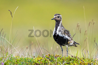 Small european golden plover standing on meadow in summer.