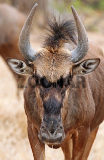 Streifengnu im Kruger NP, Südafrika, blue wildebeest in Kruger NP, South Africa, Connochaetes taurinus