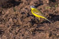 Western Yellow Wagtail (Motacilla flava)