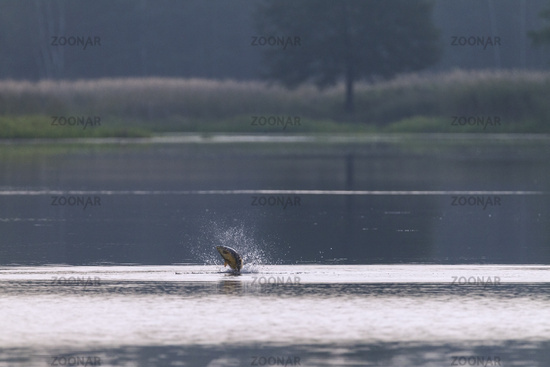 Common Carp jumps out of water / Cyprinus carpio