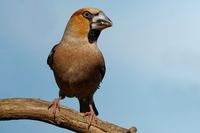 Hawfinch on a branch