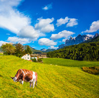 Cow grazes on green slope of the mountain