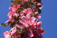 Pink apple blossoms ornamental apples