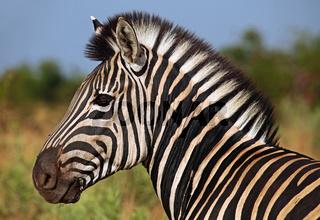 Steppenzebra im Sonnenlicht, Südafrika, Kruger Nationalpark, South Africa, Plains Zebra, Perissodactyla, Equus quagga