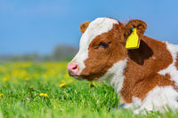 Portrait head of red-variegated calf in meadow
