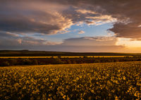Spring evening rapeseed yellow blooming fields