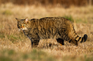 Interested european wildcat while hunting on the dry meadow in autumn