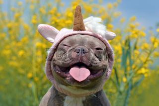 Lustige Französiche Bulldogge Hund mit ausgestreckter Zunge in Einhornkostüm