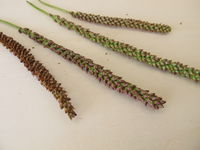 Greater plantain edible seeds in an inflorescence, Plantago major
