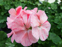 Pelargonium - Geranium Flowers showing their lovely petal Detail in the garden