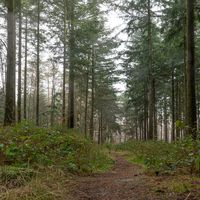 Forest in the light fog with pines, firs and footpath. Soil overgrown with moss and ferns