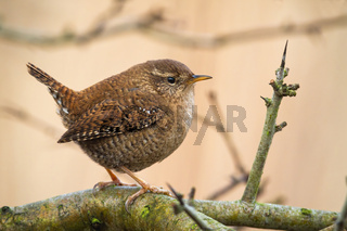 Little eurasian wren with brown plumage sitting on the tree with thorns