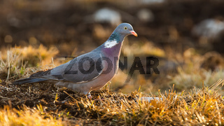 Common wood pigeon standing on ground in autumn.