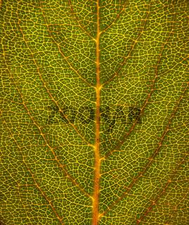 Blattstruktur / structure of leaf
