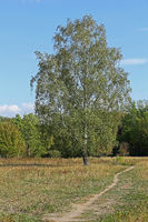 Single standing birch in autumn