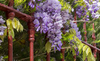 Blooming blue rain (Wisteria) on a red garden fence