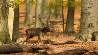 Majestic fallow deer walking in forest in autumn.