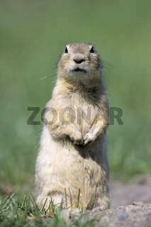 Richardson-Ziesel sitzt vor dem Hoehleneingang - (Praerieziesel) / Richardsons Ground Squirrel sitting at the entrance of the burrow - (Flickertail) / Spermophilus richardsonii - (Urocitellus richardsonii)
