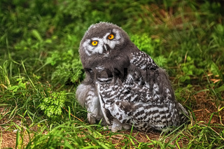 Chick of snowy owl (Bubo scandiacus)