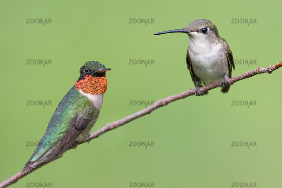 Male and Female Ruby-throated Hummingbird