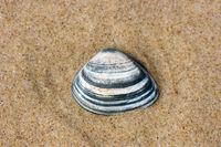 Muschelschale  Seashell