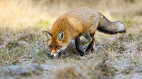 Fluffy red fox sniffing on meadow in autumn nature.