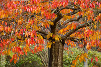Deciduous tree with leaves in various tones from red to green