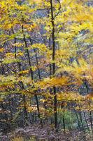 Rot-Buchen an einem stuermischen Herbsttag / European Beeches at a stormy day in autumn / Holsteiner Wald - Kreis Steinburg