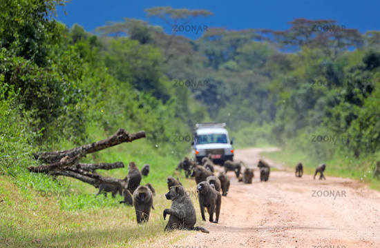 Roadblock by baboons in Uganda | Roadblock by baboons in Uganda