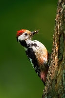 Middle spotted woodpecker gripping onto tree trunk illuminated by sun in forest