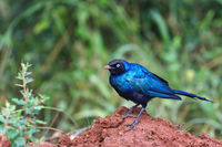 Rueppell's Glossy-starling at Lake Mburo National Park in Uganda (Lamprotornis purpuroptera)