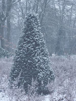 A cone shaped snowy yew tree in a public park