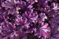 Purple leaves of ornamental plant Heuchera hybrid (Heuchera x hybrida