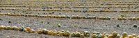 Styrian oil pumpkins lying on a field