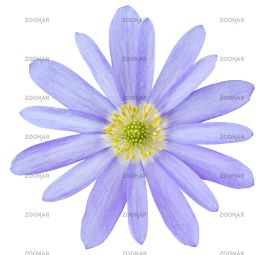 Lovely Anemone (Daisy, Windröschen) isolated on white background, including clipping path.