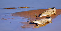 nile crocodiles at South Luangwa National Park, Zambia, (Crocodylus niloticus)