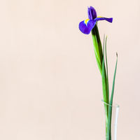 blue iris flower with square pale brown background
