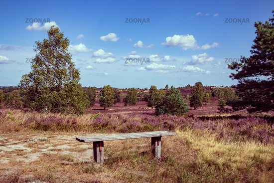 Holiday in Germany. Beautiful view with park bench in the Lüneburg Heath Nature Park (Nature Reserve) during the heath blossom.