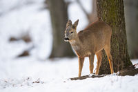 Roe deer doe looking aside in forest in wintertime nature.