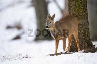Roe deer doe looking aside in forest in wintertime nature.